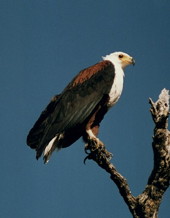 African Fish Eagle, Haliaeetus vocifer