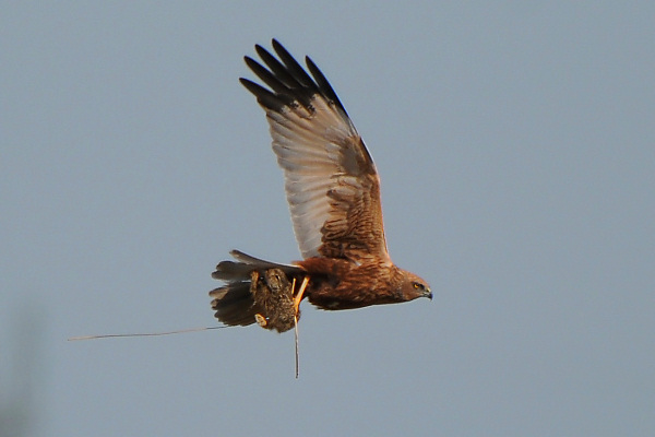Marsh Harrier with Hare