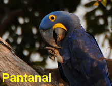 Click and go to our Pantanal Images